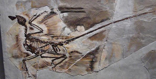 Resultado de imagem para microraptor fossil