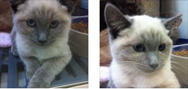 unknown birman
